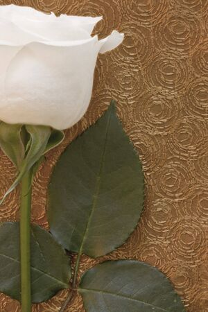 White rose on gold patterned background