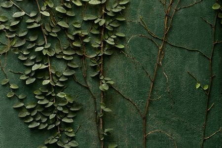 ivy wall: Creeping ivy on green wall
