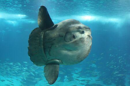 beenderige: reus Sunfish Stockfoto