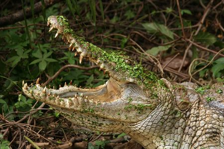 crocodile in the gambia mouth open