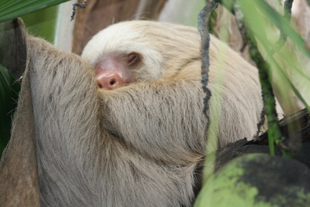 toed: two toed sloth sleeping in tree , in costa rica