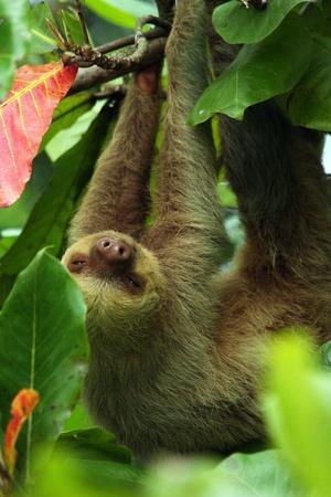 faultier: zwei Faultiere h�ngen �ber, in Costa Rica Lizenzfreie Bilder