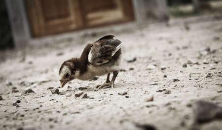 cuteness: A Little Chick