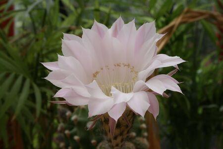 cactus in flower Stock Photo - 3273224