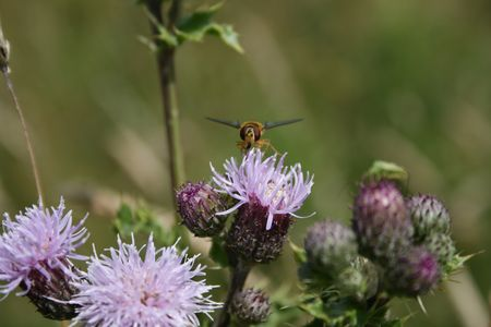 insect on thistle Stock Photo - 3273267