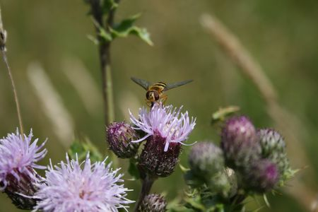 insect landing on thistle Stock Photo - 3273226