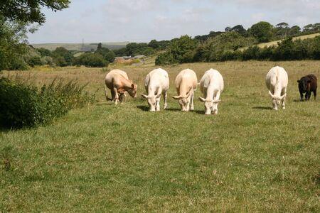 munching: cows munching