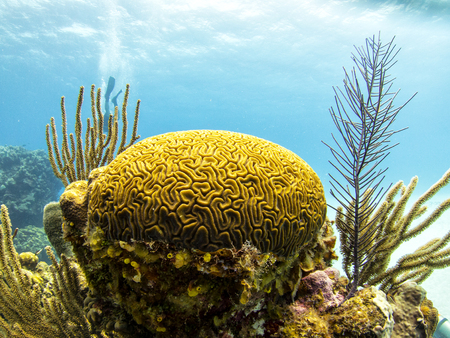 Coral Reef, Belize - Yellow Brain Corals