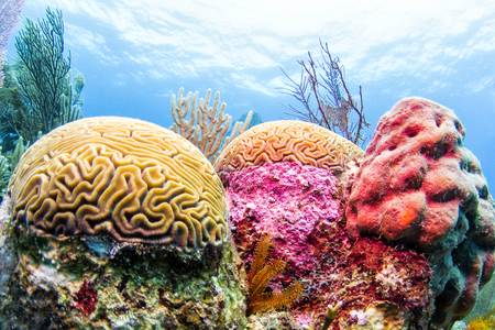 Colorful Coral Reef, Belize Stock fotó - 115279577
