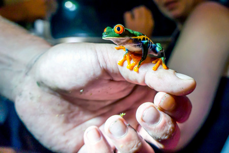 Red Eye Tree Frog on a Hand