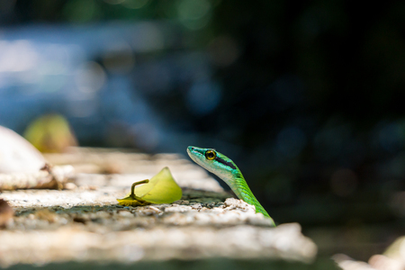 Green Parrot Snake in Wild, at Manuel Antonio National Park, Costa Rica