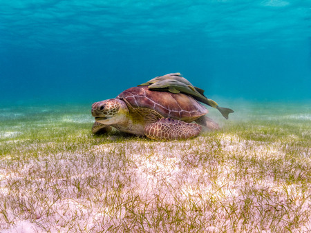 Green Sea Turtle with Remora Suckerfish on Shell - Akumal, Yucatan, Mexico
