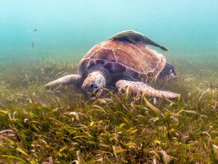 Green Sea Turtle eating Seagrass - Akumal, Yucatan, Mexico