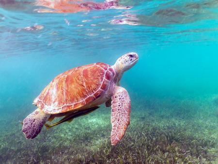 Green Sea Turtle Swimming in Akumal, Mexico
