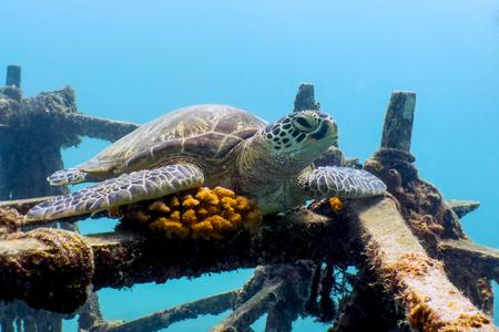 Green Sea Turtle Resting on Shipwreck - Borneo, Malaysia