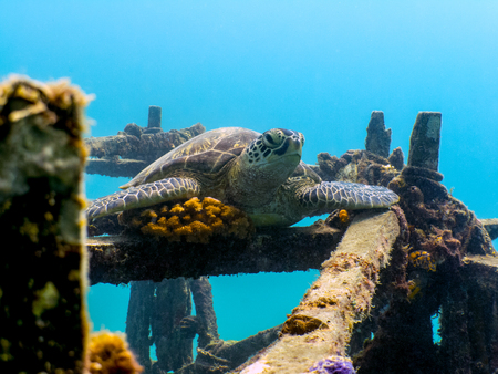 Green Sea Turtle Resting on Ship Wreck - Borneo, Malaysia