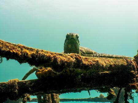 Sea Turtle Resting on Ship Wreck - Mabul Island, Borneo, Malaysia Stock fotó