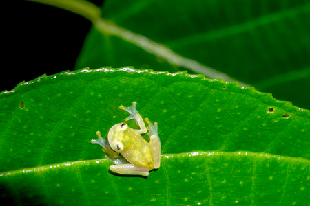 Reticulated Glass Frog in the Wild Rain Forest, Puntarenas, Costa Rica Stock fotó