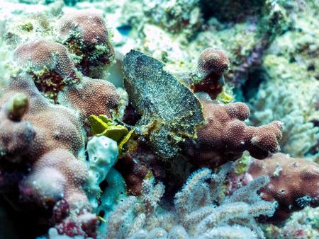 Leaf Scorpionfish - Venomous, Strange Fish