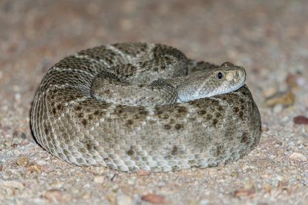 Western Diamondback Rattlesnake in Arizona Desert