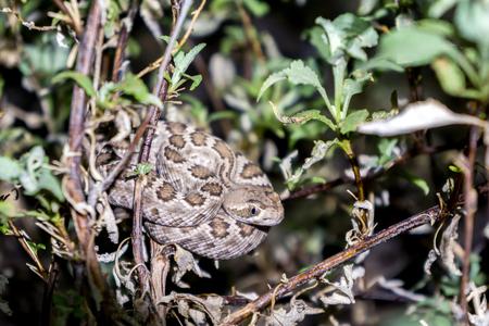 Mojave Rattlesnake in Arizona Desert - Venomous Pit Viper Snake Stock Photo