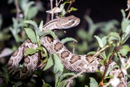 Mojave Rattlesnake in Arizona Desert
