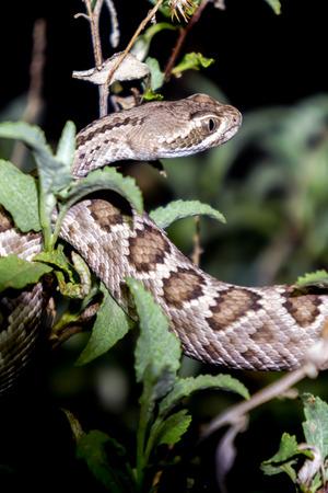 Mojave Rattlesnake in Arizona Desert - A Highly Venomous Pit Viper Snake