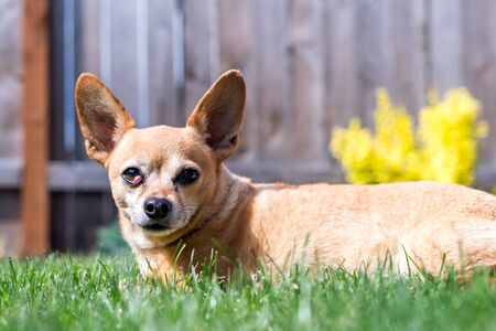 Happy Chiweenie Sitting in Grass on Sunny Day Stock Photo
