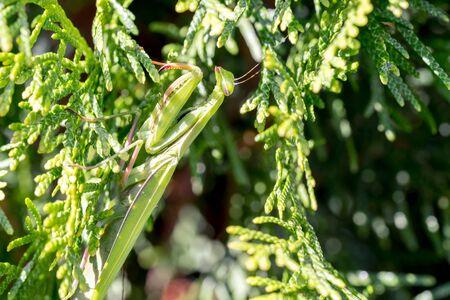 Praying Mantis - Closeup Macro in Backyard Garden Arborvitae Tree