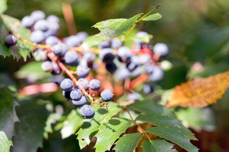 Wild Blueberries - Macro, Shallow depth of field - Pacific Northwest, Washington Stock fotó