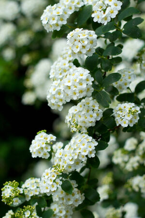 Beautiful white flowers blooming during the spring  photo