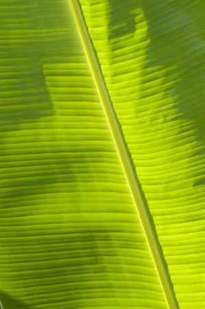 banana leaf green background Stock Photo