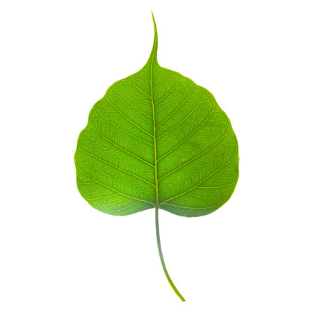 Isolated bo green  leaf on white background
