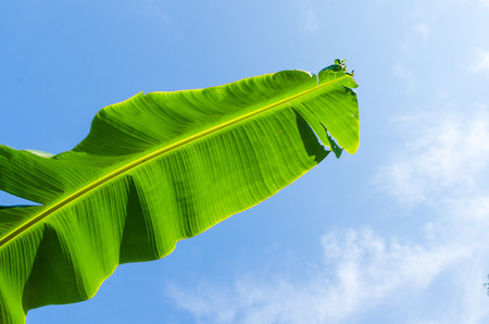 Banana lead on blue sky background photo