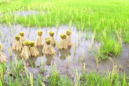 seeding: Round of seeding rice in the farm