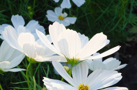 gro: White flower in the garden, nature flower Stock Photo