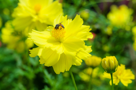 Closeup of nature bee and yellow flower, insect with flower