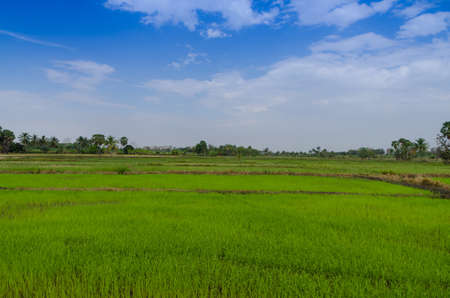 Landscape view of rice field blue sky and cloud Stock Photo