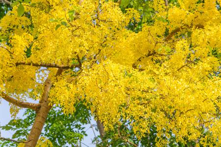 Golden shower tree beautiful yellow flower name is ratchaphruek golden shower tree beautiful yellow flower name is ratchaphruek stock photo 39094766 mightylinksfo