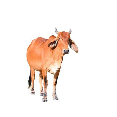 Isolated brown cow on the white background, animal