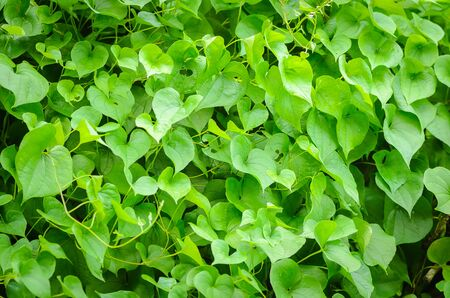 thick growth: Fresh green natural leaves ivy bush Stock Photo