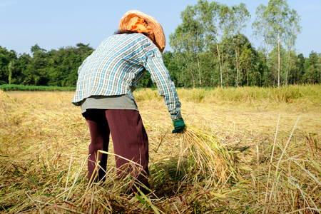 thrash: Thailand farmer harvesting the rice in rice field Stock Photo