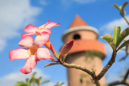 Azalea flowers over tower blue sky and cloud background shallow depth of field