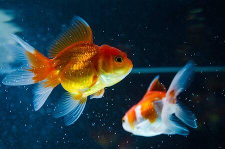 Goldfish nature beautiful fish against the dark background