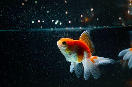 Goldfisch, der schöne Fische der Nahrungsnatur vor dem dunklen Hintergrund isst Standard-Bild
