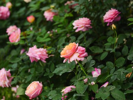 Close-up shot blooming fresh and natural rose flower against a green meadow select focus shallow depth of field  Banco de Imagens