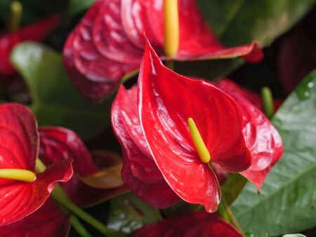Close-up shot bouquet of a fresh and natural colorful tropical  Anthurium flower select focus shallow depth of field Banco de Imagens
