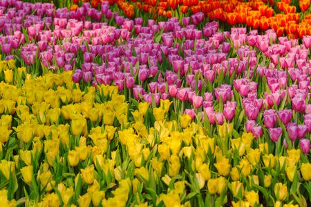 Fresh and nature a group of colorful tulip blooming in the garden select focus shallow depth of field, tulip flower background, tulip field Banco de Imagens