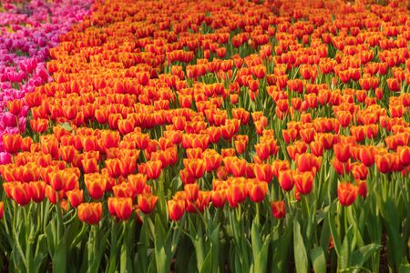 Fresh and nature a group of colorful tulip blooming in the garden select focus shallow depth of field, tulip flower background, tulip field 免版税图像