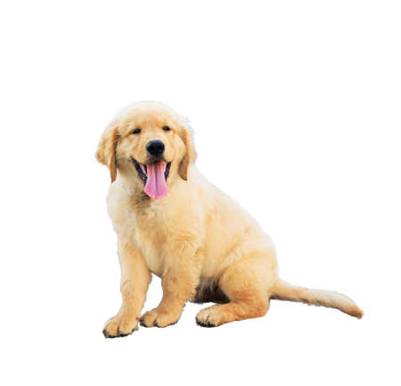 Isolated an adorable Golden retriever puppy lying and smiling with hanging tongue - studio shot on the white background.